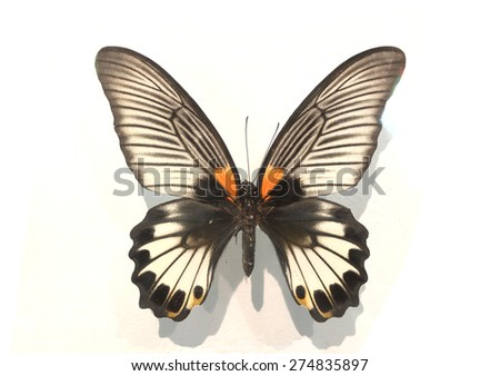 white Monarch butterfly  isolated  - stock photo