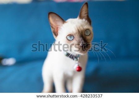 White moon diamond cat is standing and looking for something on her blue sofa - stock photo