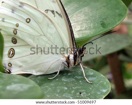 White Morpho Butterfly Closeup - stock photo