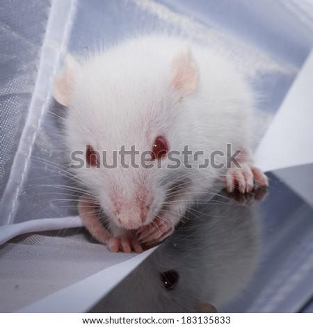 white mouse - stock photo