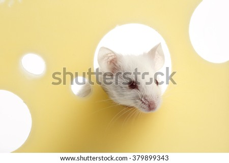 White mouse on piece of cheese - stock photo
