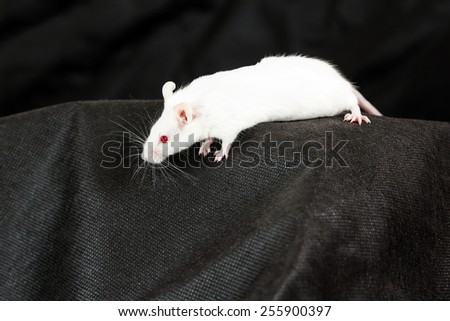 White mouse with red eyes crawling on black fabric - stock photo