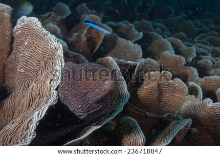 White mouth moray eel (Gymnothorax meleagris) hiding amongst disc coral (Pachyseris speciosa) on a coral reef in the Indian Ocean, Zanzibar  - stock photo