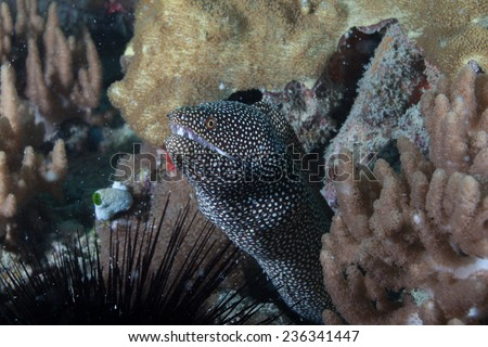 White mouth moray eel (Gymnothorax meleagris) hiding amongst soft coral and sea urchin on a coral reef in the Indian Ocean, Zanzibar  - stock photo