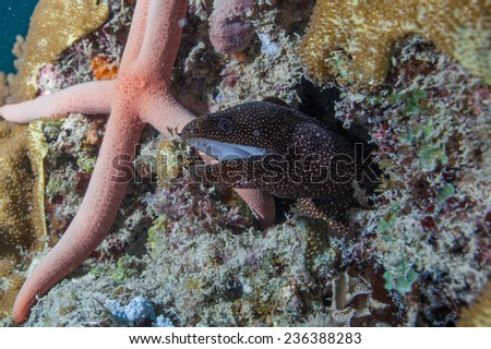 White mouth moray eel (Gymnothorax meleagris) hiding amongst soft coral and seastar on a coral reef in the Indian Ocean, Zanzibar - stock photo