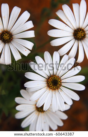 White Namaqualand Daisy from top - stock photo