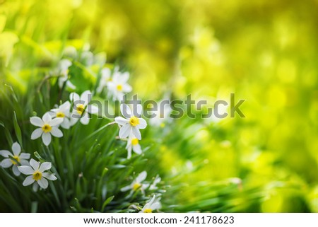 White narcissus flowers, summer background. - stock photo