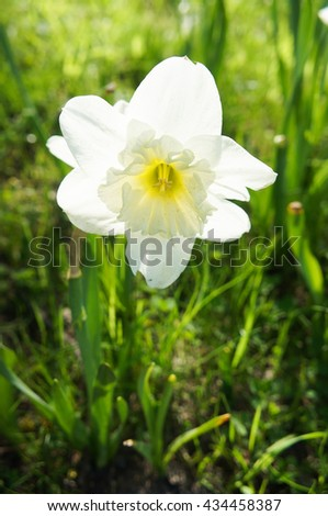 white narcissus in sunlight on the grass - stock photo