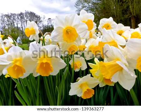 White Narcissuses in the park. Spring landscape. - stock photo