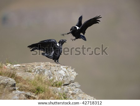 White-necked Ravens (Corvus albicollis) fighting on top of a hill in South Africa - stock photo