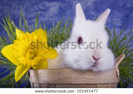 White Netherland Dwarf bunny rabbit in bushel basket with yellow daffodil flower and green grass blue sky background - stock photo
