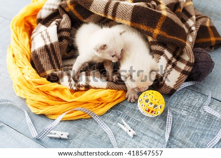 White newborn kittens in a plaid blanket. Sweet adorable tiny kittens on a serenity blue wood background play with cat toy and ribbon. Small cats top view. Funny kittens crawling and meowing - stock photo