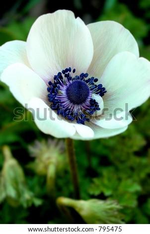 White Opal Anemone Flower Closeup - stock photo