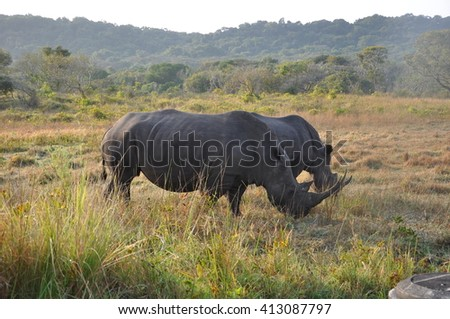 White or wide mouth rhino at he isimangaliso wetland park, St Lucia, South Africa - stock photo