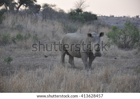 White or wide mouth rhino at the Isimangaliso wetland park, St Lucia, South Africa - stock photo