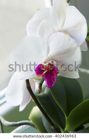 White orchid. - stock photo