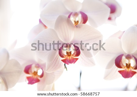 white orchid - stock photo