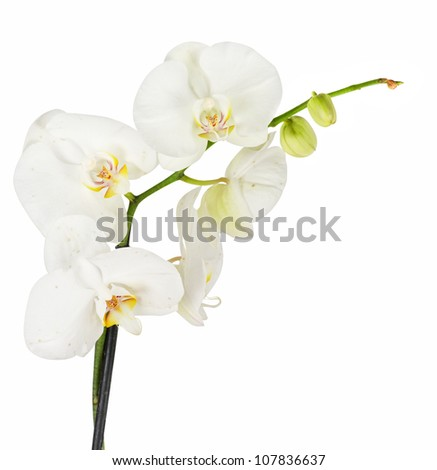 White orchid closep on a white background - stock photo