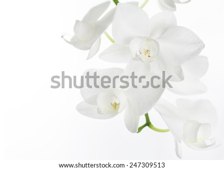 white orchid flower in bloom on the white background - stock photo