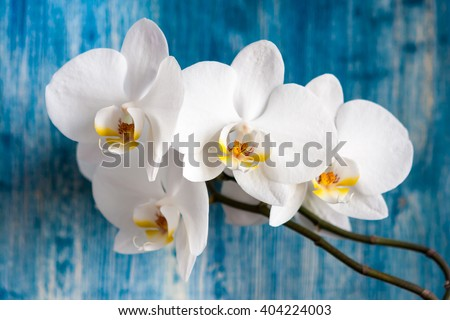 White orchid flower on blue wooden background - stock photo