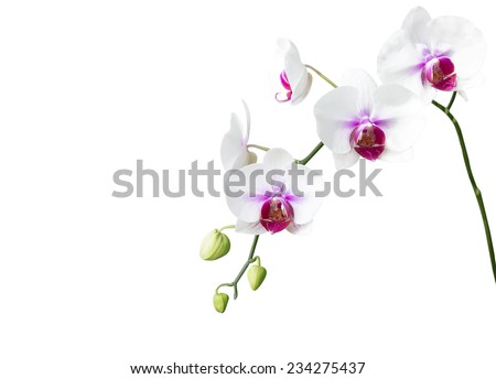 White orchid flower on white background - stock photo
