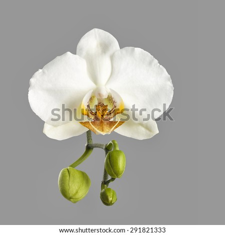 white orchid flower with fresh buds isolated on grey background - stock photo