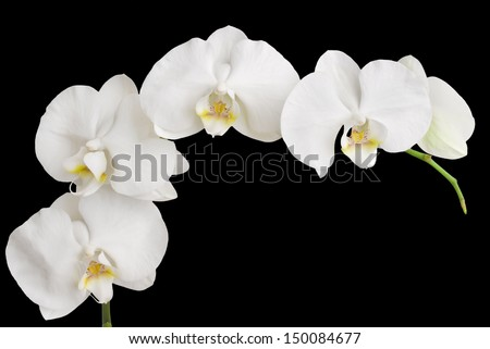 White Orchid Isolated on Black - stock photo