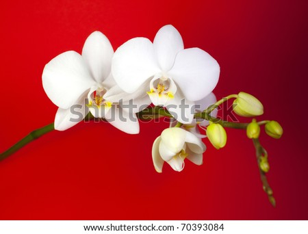 White orchid on red background. - stock photo