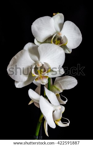 White orchid on the black background - stock photo