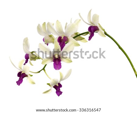 White orchid on white background - stock photo