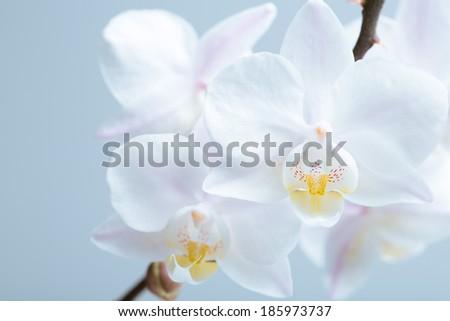 White orchid.  phalaenopsis - stock photo