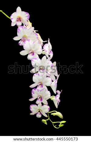 White orchid with purple center isolated on black background - stock photo