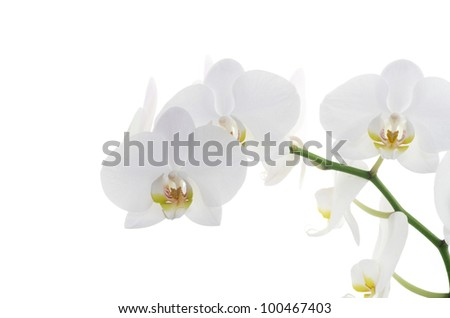 white orchids flower isolated on white background - stock photo