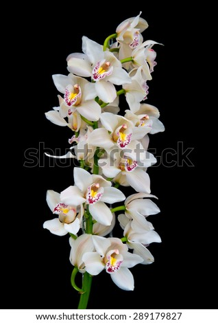 white orchids on black background - stock photo