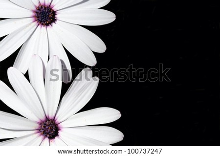 White Osteospermum flowers on a black background, Costa del Sol, Malaga Province, Andalusia, Spain, Western Europe. - stock photo
