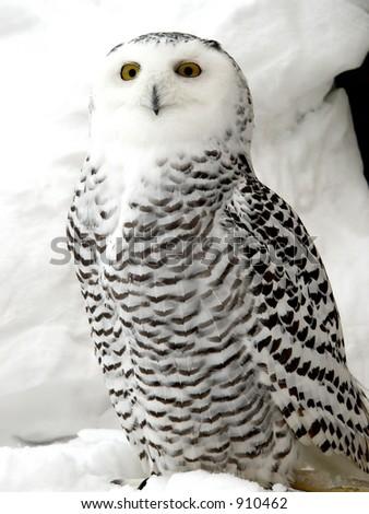 White owl - stock photo