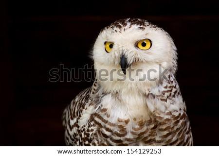 White Owl with big yellow eyes on black background - stock photo
