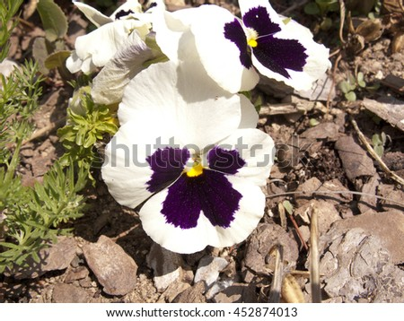 White Pansy flowers in the garden - stock photo