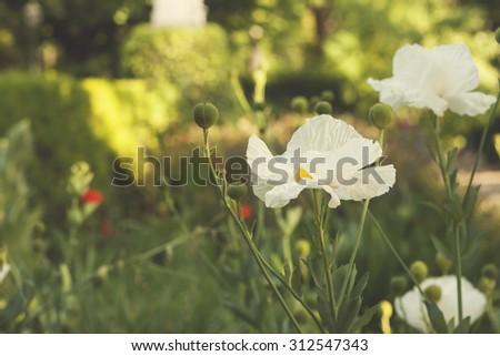 white papaver in a garden  - stock photo