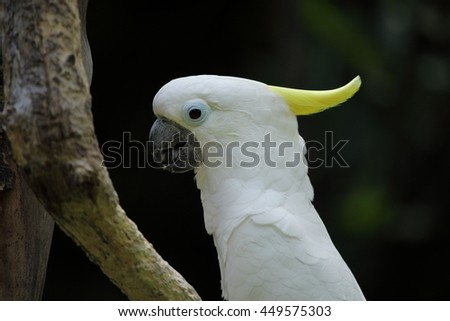 White Parrot - Sulphur-crested cockatoo - stock photo