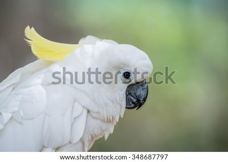 White Parrot - Sulphur-crested cockatoo - Cacatua galerita standin. - stock photo