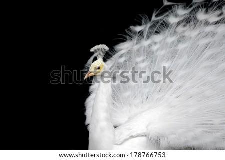 White peacock on a plain black background. - stock photo