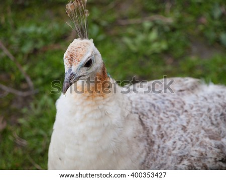 White peahen with yellow stripe on its neck - stock photo