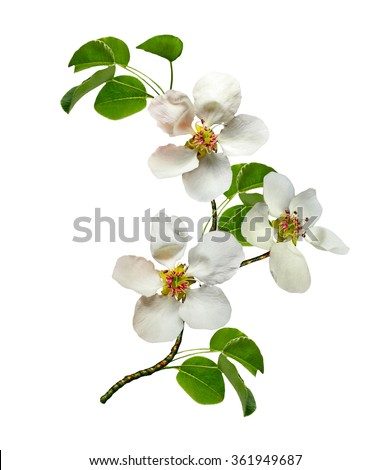 White pear flowers branch isolated on white background - stock photo