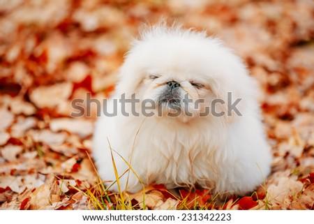 White Pekingese Pekinese Peke Whelp Puppy Dog Sitting On Red Yellow Orange Fall Foliage In Autumn Park - stock photo