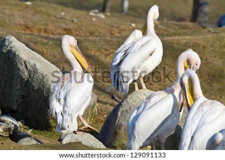 White pelican - stock photo