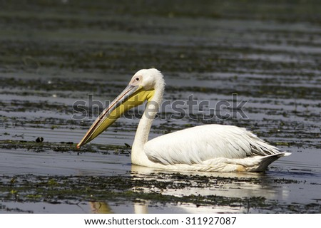 white pelican in natural habitat / Pelecanus onocrotalus - stock photo