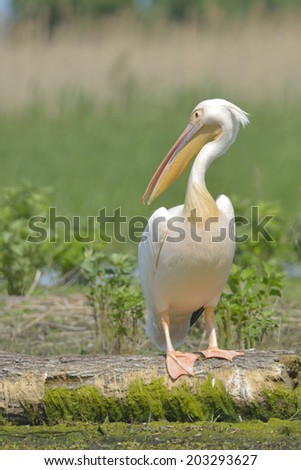 White Pelican on a Log in Danube Delta - stock photo