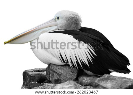 White Pelican - Pelecanus onocrotalus  in front of a white background - stock photo