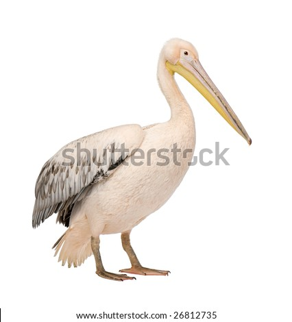 White Pelican -  Pelecanus onocrotalus (18 months) in front of a white background - stock photo